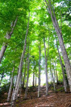 ブナ林-自然観察園(夏)