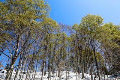 ブナ林-自然観察園(4月)